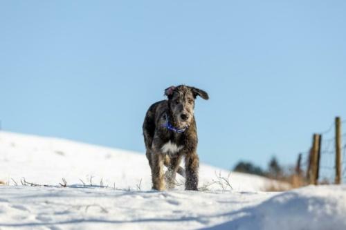 irish woolfshound bigonville (378 of 575)-Edit
