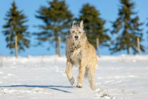 irish woolfshound bigonville (489 of 575)-Edit